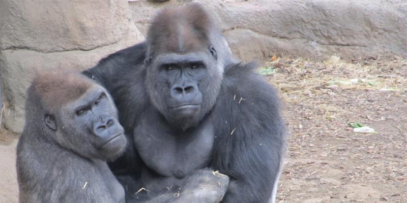 gorillas-en-zoologico