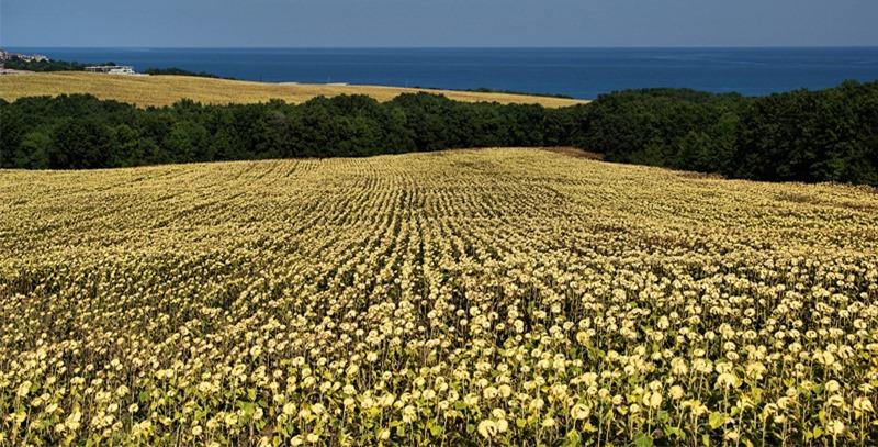 campo-de-girasoles-bulgaria