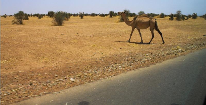 camelo-en-desierto-africano