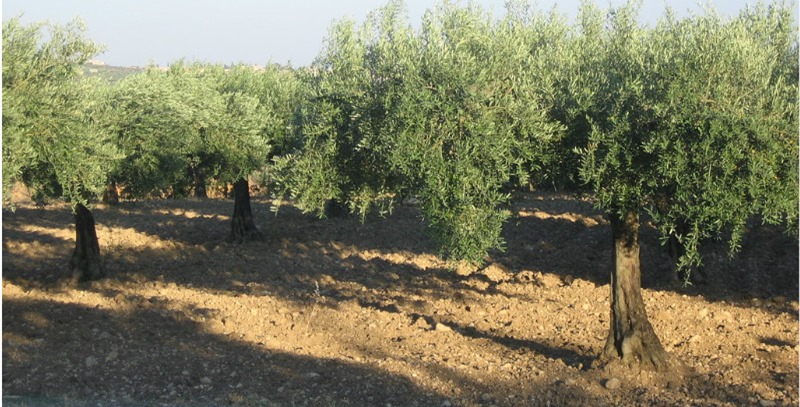 campo de olivos sicilia